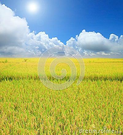 Rice field green grass blue sky cloud cloudy landscape backgroun Stock Photo