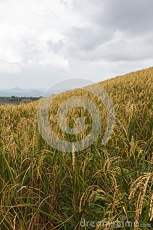 Rice field on hill