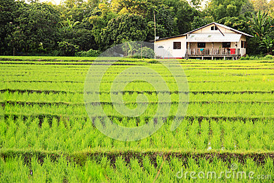 Rice field with house