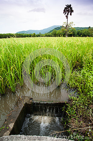 Rice field irrigation, Thailand.