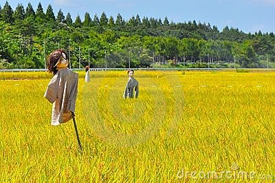 Rice field in Japan