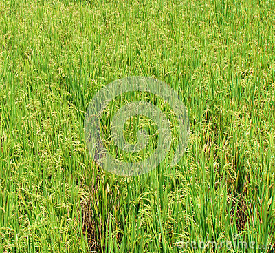 Rice ready to harvest