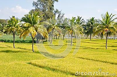 Rice field in Karnataka (India)