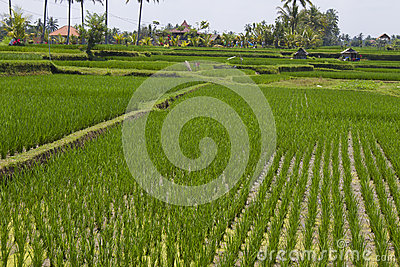 Rice field Editorial Stock Image