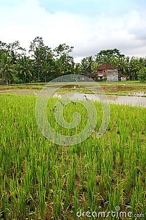 Free Rice Field Landscape With Ducks, Bali Scenic Stock Photo - 7637710