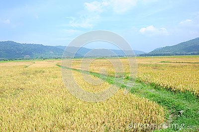 Rice field in Langkawi