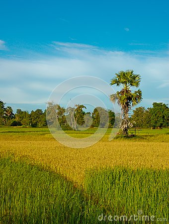 Rice field, Laos