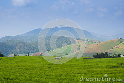 Rice field mountain