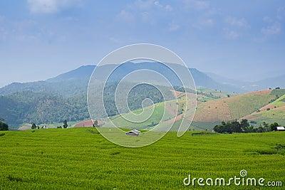 Rice field mountain