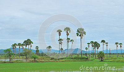 The rice field and palm tree