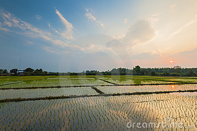 Rice field with reflection at twilight time