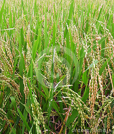 Rice field - ripe for harvest