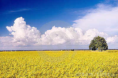 Rice Field Series 3