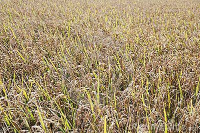 Rice Field Textures