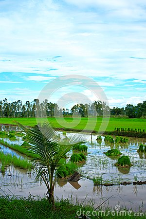 Rice field in Thailand.