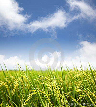 Free Rice Field With Cloud Royalty Free Stock Image - 22023036