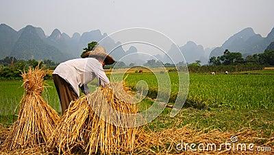 Rice Field Work China