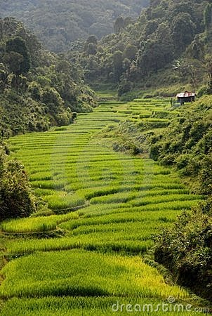 Free Rice Fields Stock Photo - 11673930
