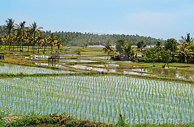 Rice Fields Stock Image - Image: 13196481
