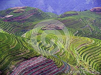 Rice Fields 5