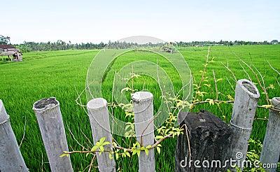 Rice fields, Bali scenic landscape, asia
