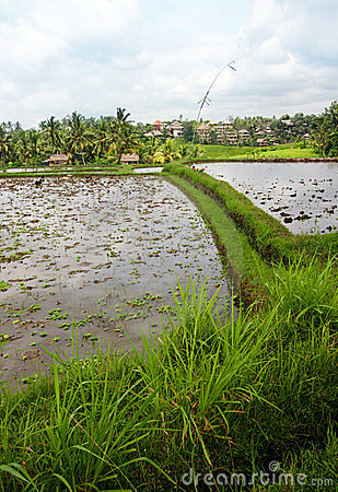 Rice fields and house, Bali