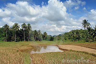 Rice fields with jungle