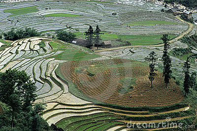 Rice Fields in Vietnam 2