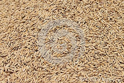 Rice grain under sunlight