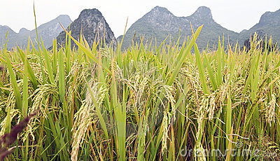 Rice grains in Guilin