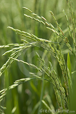Rice grains ripening on stalk