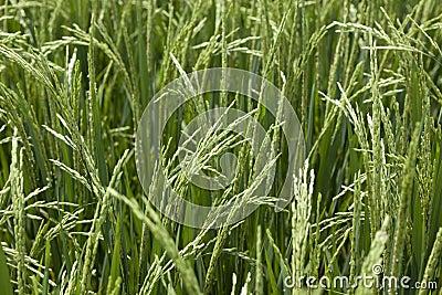 Rice grains ripening on stalk