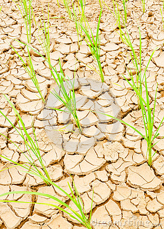 Rice growing on drought field, drought land