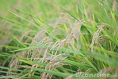 Rice before harvesting