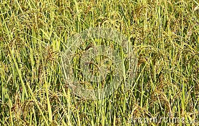 Rice in Nepal
