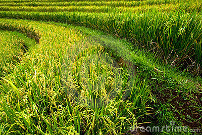 Rice paddies on Bali island, Indonesia