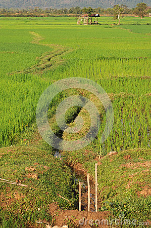 Rice paddies near Champasak