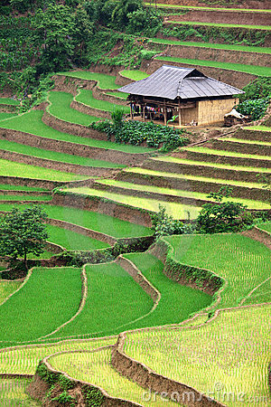 Free Rice Paddy Royalty Free Stock Images - 11935279
