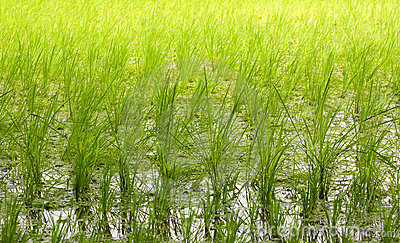 Rice paddy field background