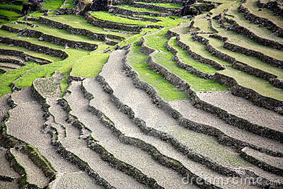Rice paddy fields in the himalayan