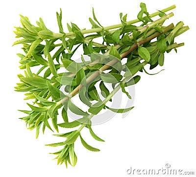 Rice Paddy Herb