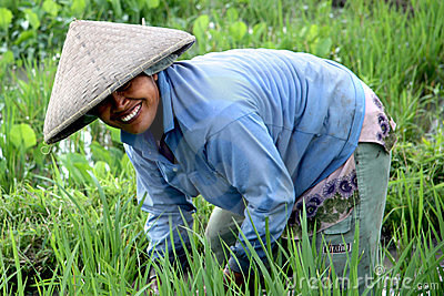 Rice Paddy Worker Editorial Photography