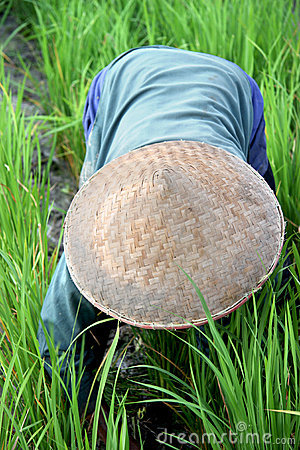 Rice Paddy Worker Editorial Stock Photo