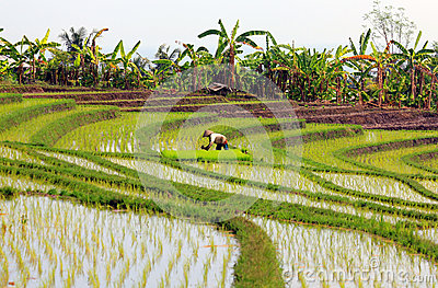Rice paddy with worker