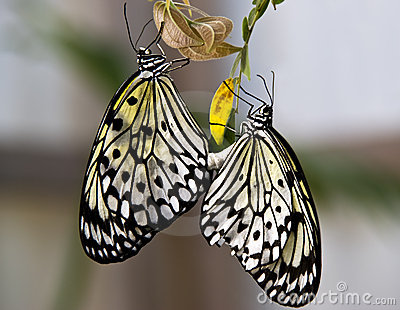 Rice paper butterflies mating (Idea leucone)