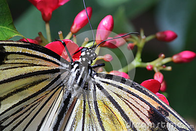 Rice Paper Butterfly Eating Nectar