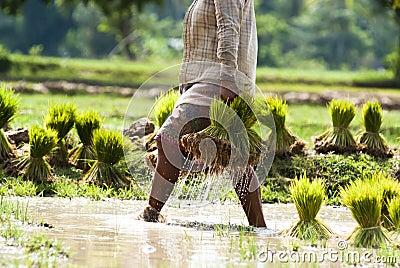 Rice plantation in Laos