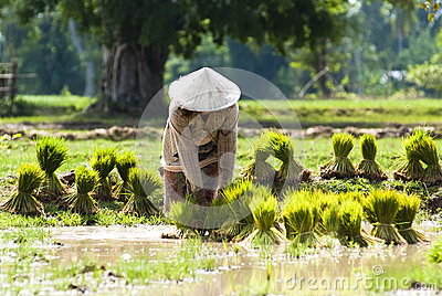 Rice plantation in Laos Editorial Stock Image