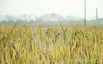 Rice plants with morning dew