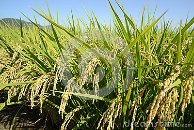 Rice pole